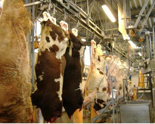забой бычков на мясо видео